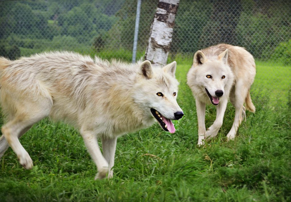 Loups arctiques Ferme 5 Étoiles